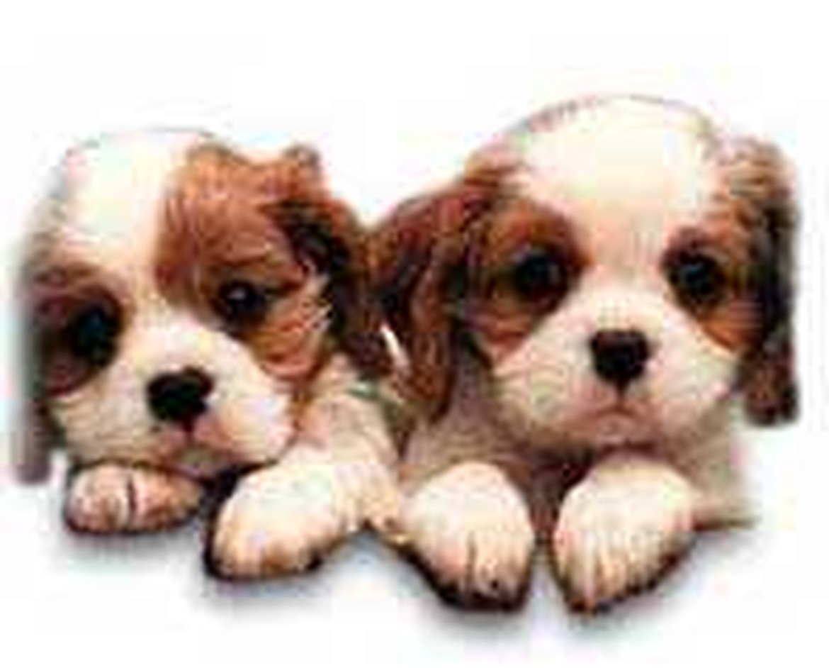 American Dog Club Cute Puppies for Sale