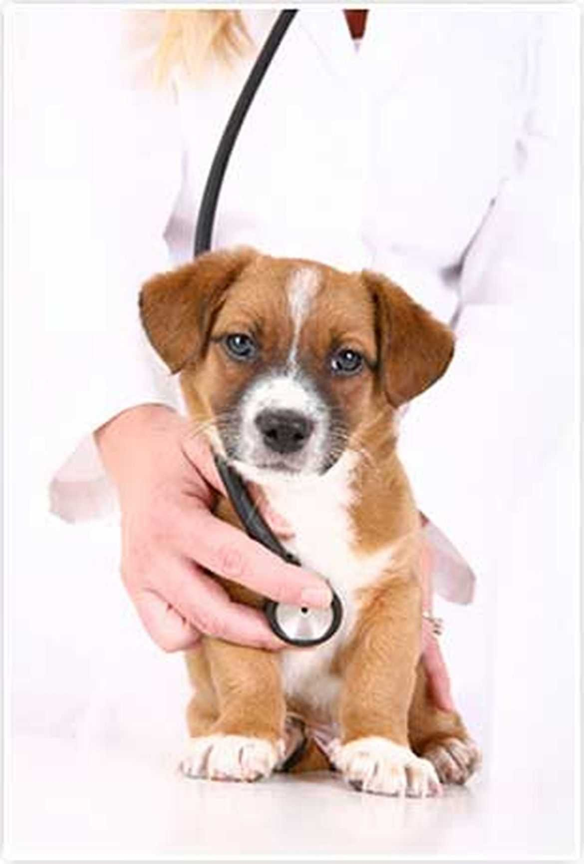 At American Dog Club, Free Vet Package With a New Puppy Purchase Rabies Vaccination Deworming Parasites Medical Care
