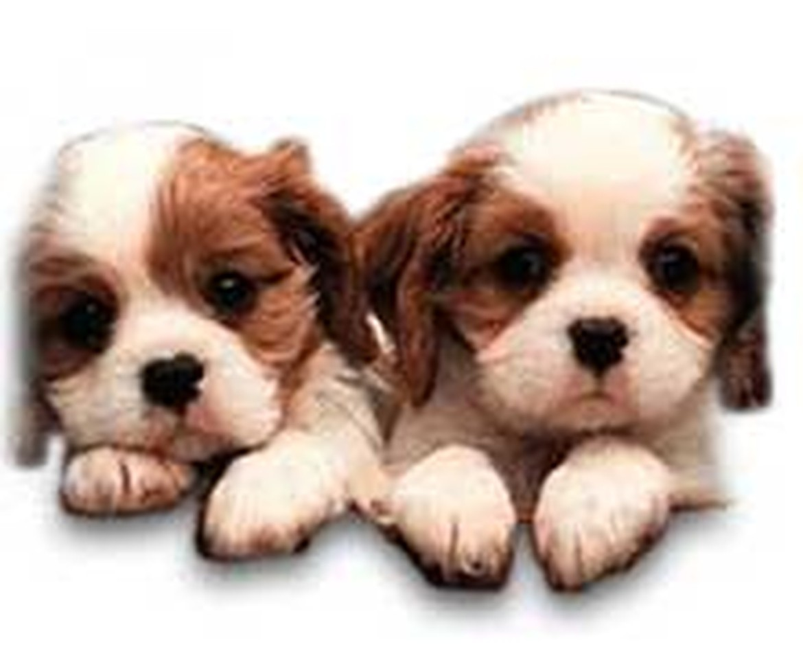Cute Puppies For Sale American Dog Club All Breeds Smith Haven & Sunrise New York